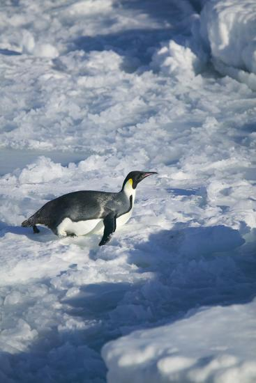 Emperor Penguin on His Belly-DLILLC-Photographic Print