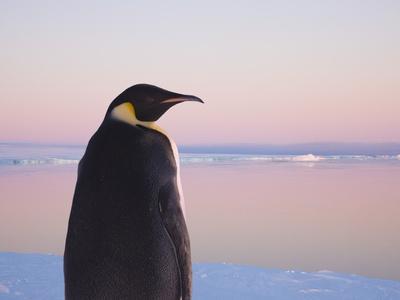Emperor Penguin on Pack Ice-Keren Su-Photographic Print