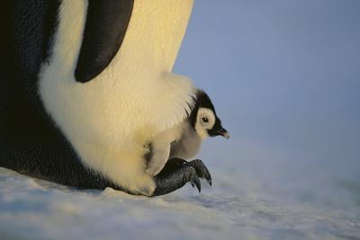 Emperor Penguin Protecting Offspring from the Cold-DLILLC-Photographic Print