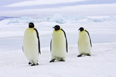 Emperor Penguin, Three Adults Walking across Ice--Photographic Print