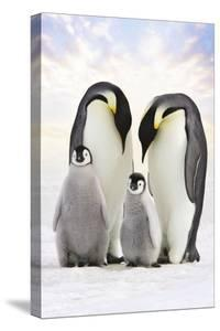 Emperor Penguin, Two Adults with Two Chicks