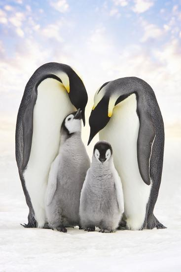 Emperor Penguin, Two Adults with Two Chicks--Photographic Print