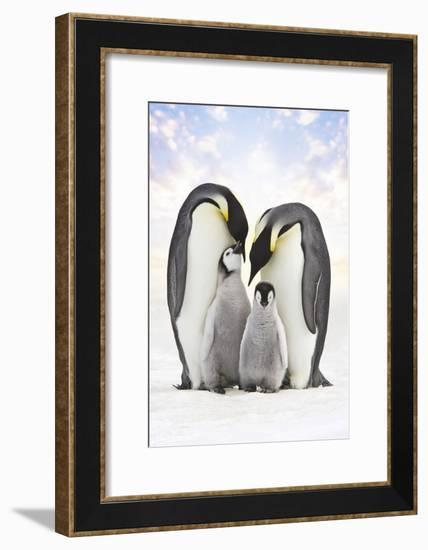 Emperor Penguin, Two Adults with Two Chicks--Framed Photographic Print