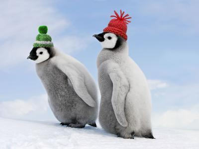 Emperor Penguin, Two Chicks with Woolly Hats--Photographic Print