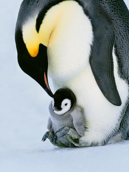 Emperor Penguin with Chick on Feet, Weddell Sea, Antarctica-Frans Lanting-Photographic Print