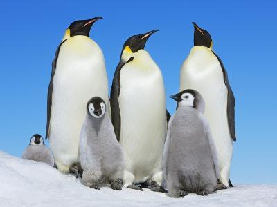 Emperor penguin with group with chicks-Frank Krahmer-Photographic Print