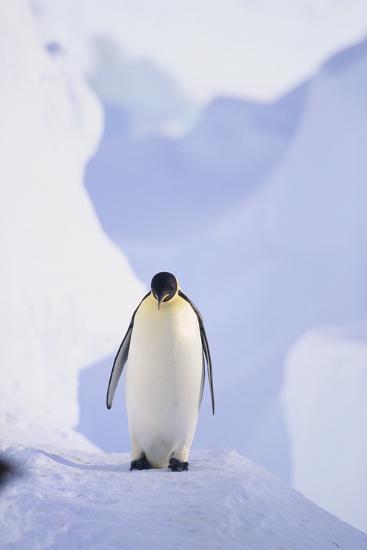 Emperor Penguin-DLILLC-Photographic Print