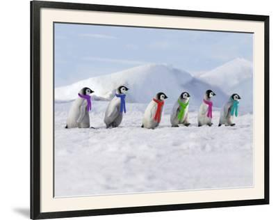Emperor Penguins, 4 Young Ones Walking in a Line--Framed Photographic Print