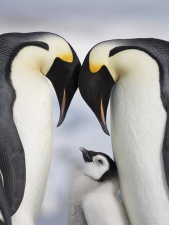 https://imgc.artprintimages.com/img/print/emperor-penguins-and-chick-in-antarctica_u-l-pzl36b0.jpg?p=0