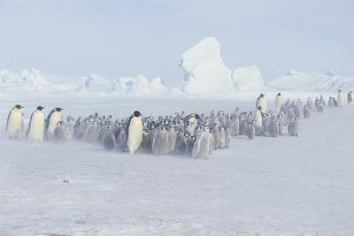 Emperor Penguins and Offspring-DLILLC-Photographic Print