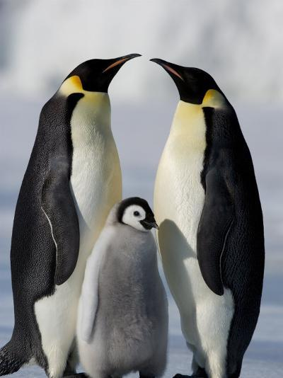 Emperor Penguins (Aptenodytes Forsteri) and Chick, Snow Hill Island, Weddell Sea, Antarctica-Thorsten Milse-Photographic Print