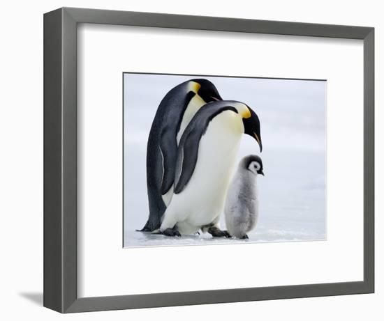 Emperor Penguins (Aptenodytes Forsteri) and Chick, Snow Hill Island, Weddell Sea, Antarctica-Thorsten Milse-Framed Photographic Print