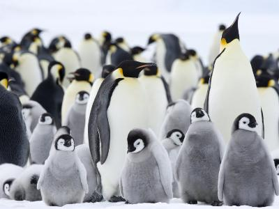 Emperor Penguins (Aptenodytes Forsteri) and Chicks, Snow Hill Island, Weddell Sea, Antarctica-Thorsten Milse-Photographic Print