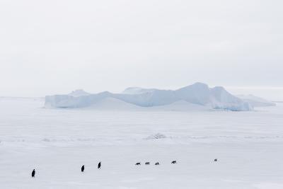 Emperor Penguins (Aptenodytes Forsteri) Marching across Sea Ice on Snow Hill Island-Michael Nolan-Photographic Print