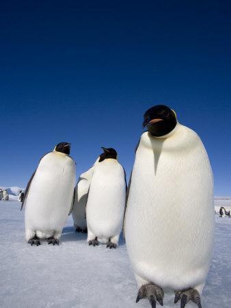 https://imgc.artprintimages.com/img/print/emperor-penguins-aptenodytes-forsteri-snow-hill-island-weddell-sea-antarctica-polar-regions_u-l-p1px0x0.jpg?p=0
