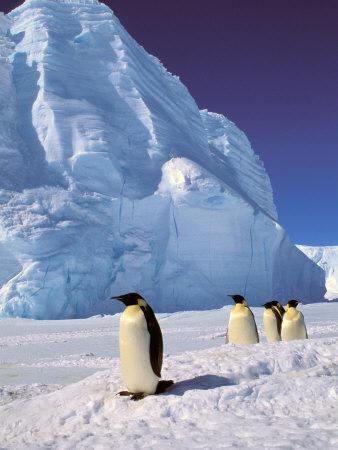 https://imgc.artprintimages.com/img/print/emperor-penguins-cape-darnley-australian-antarctic-territory-antarctica_u-l-p3wnyr0.jpg?p=0