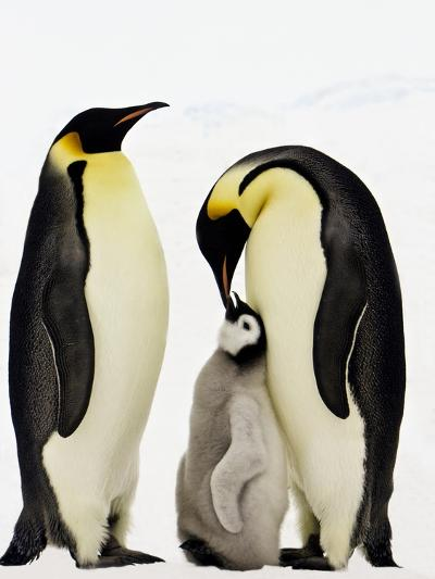 Emperor Penguins Feeding Chick-John Conrad-Photographic Print