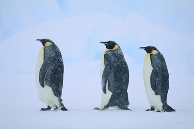 https://imgc.artprintimages.com/img/print/emperor-penguins-in-a-row_u-l-pzrdpd0.jpg?p=0