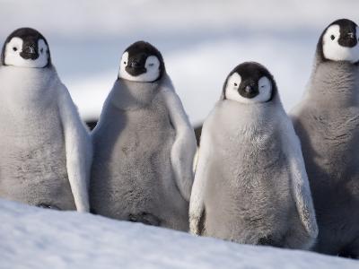 Emperor Penguins in Antarctica-Paul Souders-Photographic Print