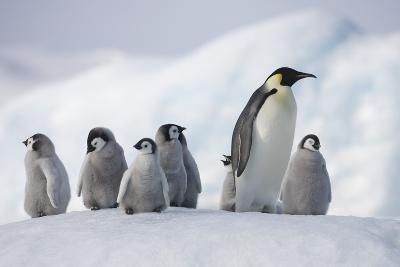Emperor Penguins in Antarctica--Photographic Print