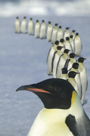 https://imgc.artprintimages.com/img/print/emperor-penguins-marching_u-l-pzrkrc0.jpg?p=0