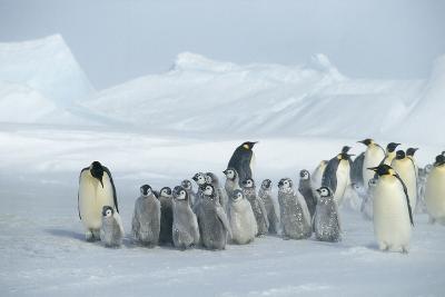 Emperor Penguins on Ice-DLILLC-Photographic Print
