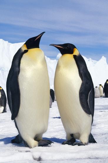 Emperor Penguins Pair--Photographic Print