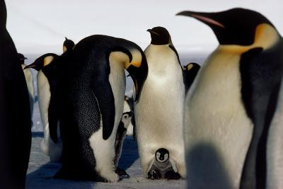 Emperor Penguins Sheltering Chicks-Doug Allan-Photographic Print