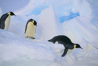 Emperor Penguins Sliding Downhill-DLILLC-Photographic Print
