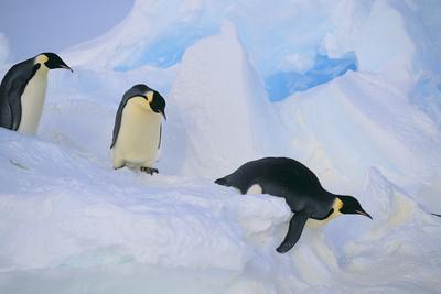 https://imgc.artprintimages.com/img/print/emperor-penguins-sliding-downhill_u-l-pzr9m80.jpg?p=0