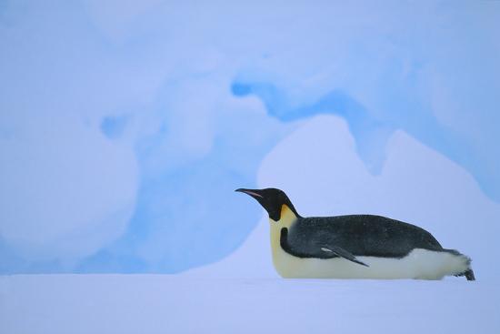 Emperor Penguins Sliding on Stomach-DLILLC-Photographic Print
