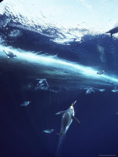 Emperor Penguins Swim Underwater in Search of Squid-Bill Curtsinger-Photographic Print