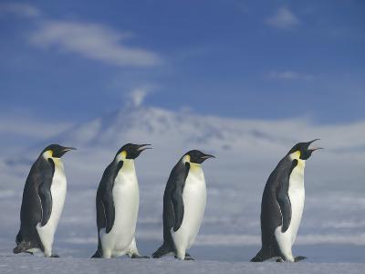 Emperor Penguins Walking-DLILLC-Photographic Print