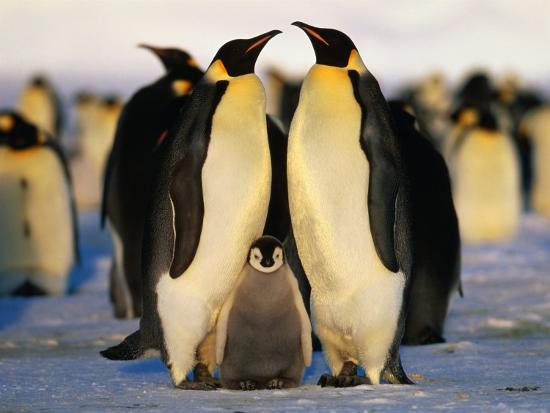 Emperor Penguins with Chick, Dawson-Lambton Glacier, Weddell Sea, Antarctica-David Tipling-Photographic Print