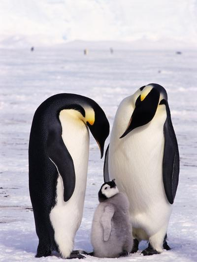 Emperor Penguins with Chick--Photographic Print