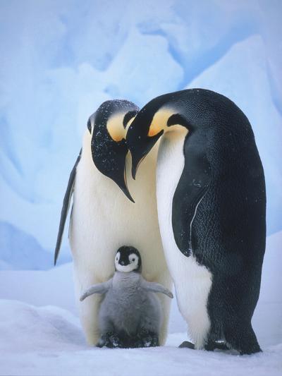 Emperor Penguins with Chick-Tim Davis-Photographic Print