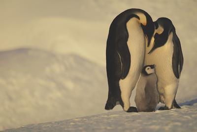 Emperor Penguins with Chick-DLILLC-Framed Photographic Print