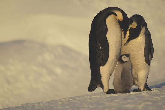 Emperor Penguins with Chick-DLILLC-Photographic Print