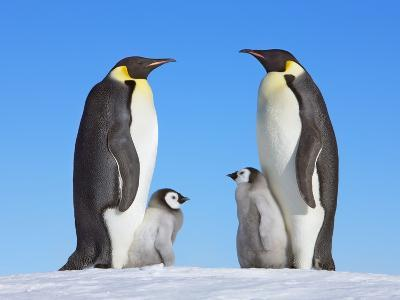 Emperor Penguins with Chicks-Frank Krahmer-Photographic Print