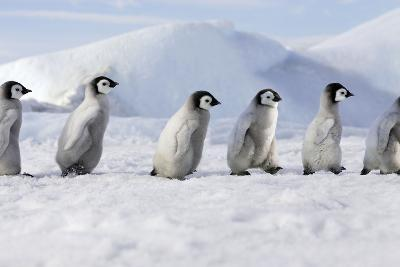 Emperor Penguins, Young Ones Walking in a Line--Photographic Print