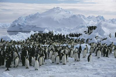 Emperor Penguins-Doug Allan-Photographic Print