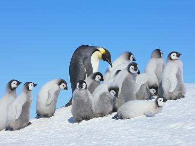 Emperor penguins-Frank Krahmer-Photographic Print