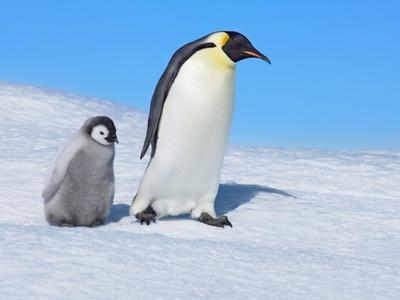 https://imgc.artprintimages.com/img/print/emperor-penguins_u-l-pzlijp0.jpg?p=0