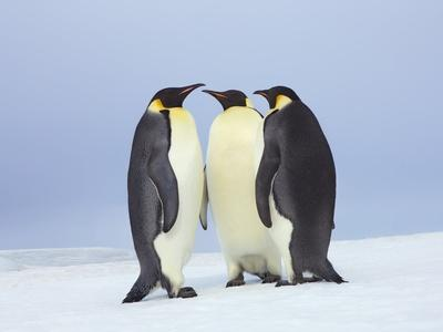 https://imgc.artprintimages.com/img/print/emperor-penguins_u-l-pzlitu0.jpg?p=0