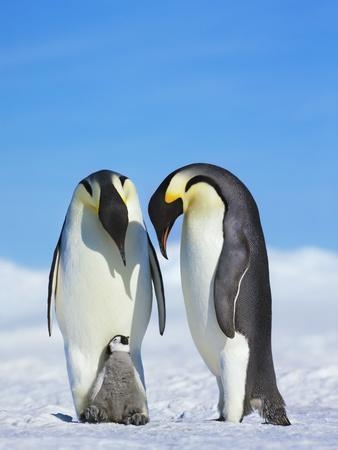 https://imgc.artprintimages.com/img/print/emperor-penguins_u-l-pzliub0.jpg?p=0