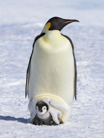 https://imgc.artprintimages.com/img/print/emperor-penguins_u-l-pzliv40.jpg?p=0