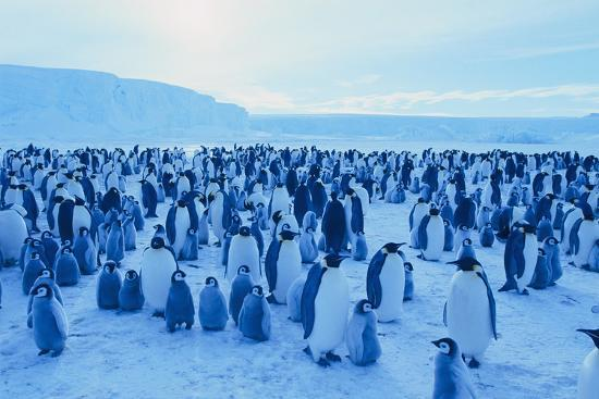 Emperor Penguins-DLILLC-Photographic Print