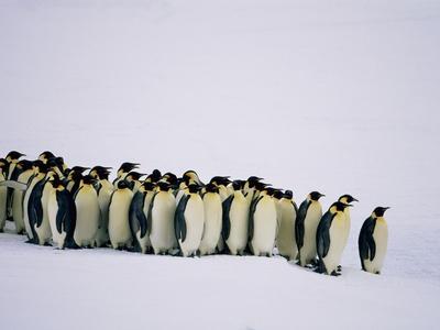 https://imgc.artprintimages.com/img/print/emperor-pinguins-standing-in-a-row-side-view_u-l-pzkvgr0.jpg?p=0