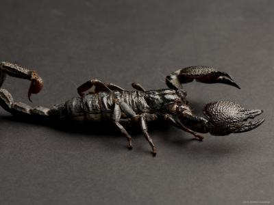 Emperor Scorpion at the Sunset Zoo, Kansas-Joel Sartore-Photographic Print