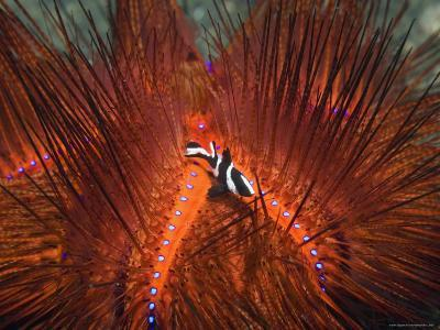 Emperor Snapper, Juvenile Sheltering, False Fire Urchin, Lembeh Strait, North Sulawesi, Indonesia-Georgette Douwma-Photographic Print